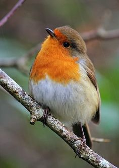 Robins are such sweet little birds! Also, they look gorgeous, not many birds that look this cute. I love these birds so much. Definitely my favourite garden bird! Cute Birds, Pretty Birds, Small Birds, Colorful Birds, Little Birds, Beautiful Birds, Animals Beautiful, Robin Vogel, Animals And Pets