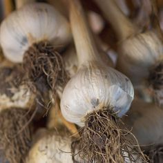 Unlike most vegetables, the best time to plant garlic is in the fall (even though many seed catalogs will sell it in spring).