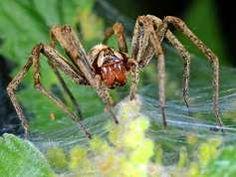 Pisauridae - Pisaura mirabilis - Nursery-web spider