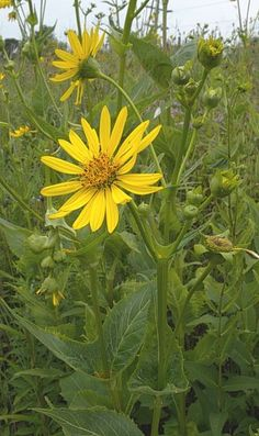 Silphium perfoliatum (Cup Plant) - Goldfinches LOVE this plant. It's a birdbath in summer and a food source in fall.