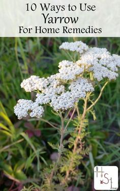 Natural Holistic Remedies Harness the healing power of plants with these 10 ways to use yarrow for use in external and internal home remedies to slow bleeding, reduce fevers,