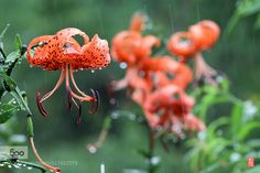 Tiger lily in the rain by yong700. Please Like http://fb.me/go4photos and Follow @go4fotos Thank You. :-)