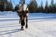 Fascinating Facts About Reindeer