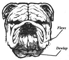 An Illustrated Guide to the Bulldog Standard, English Bulldog Standard, English Bulldog Colors, English Bulldog Size Bulldog Pics, Bulldog Puppies, Baby Bulldogs, Pug Love, Pugs, English, Pet Stuff, Bullies, Illustration