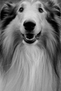 Tan bonitas esas sonrisas de collies <3