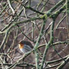 Little #red #robin #staatsbosbeheer_instameet #moerputten by phvrieler