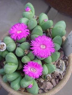 Ayrgyroderma Succulent -
