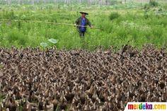 Bebek yang sedang dibawa keluar oleh peternak ini mencapai 5.000 ekor.