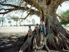 sycamore fig tree - Ondangwa, Namibia, 1995 - Photos - About ...