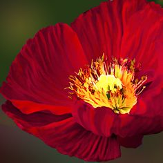 """RLK says """"We have hung the big vibrant poppy on canvas on our Absolute Black… Flower Images, Flower Pictures, Flower Art, Flowers Nature, Red Flowers, Beautiful Flowers, Flower Close Up, Simple Canvas Paintings, Macro Flower"""