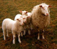 Breeds of Livestock - Friesian Milk Sheep — Breeds of Livestock, Department of Animal Science