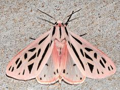 Grammia arge - IT REALLY IS A PINK MOTH