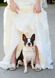 Day 10 - Photographer ... Need a picture with Bailey like this.... #EveningSun #DreamWedding #BostonTerrier