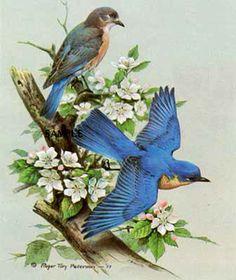 Roger ToryPeterson - Bluebird