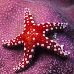 Do Starfish Have Eyes?  Starfish (more scientifically known as sea stars) don't have any visible body parts that look like eyes. How do they see?  While it may not look like starfish have eyes, they do - although they're not like our eyes. A starfish has eye spots that cannot see details, but can detect light and dark. These eye spots are at the tip of each of the starfish's arms - so a 5-armed starfish has 5 eye spots, a 40-armed starfish has 40!  Image © Frederic Pacorel #DiscoverOcean