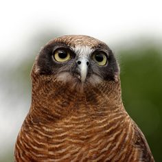 rufous owl by Rob Barker, via Flickr