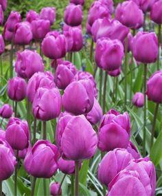 Stunning Pretty Deep Purple Bulbs Garden https://gardenmagz.com/pretty-deep-purple-bulbs-garden/