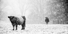 Oreos and Milk III Wall Art by Aledanda Photography from Great BIG Canvas. Furry dark colored cows stand out against a somber snowy scene in this photograph. Oreos and Milk III Wall Art by Aledanda Photography from Great BIG Canvas.