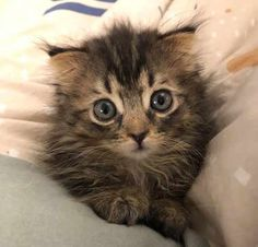 Pint-Sized Kitten Insists on Being Shoulder Cat After Being Rescued - We Love Cats and Kittens Kittens Cutest, Cats And Kittens, Cute Cats, Funny Cats, Baby Cats, Baby Animals, Cute Animals, Pretty Cats, Beautiful Cats