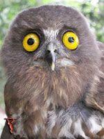 Brown Hawk Owl...