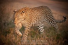 Adult male leopard I photographed in Sabi Sands, South Africa