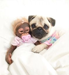 An overdose of sweetness tonight with the adorable @pugloulou and her cuddle buddy!!  #toystyle #petfriendly #animallovers #pug #lovedogs #sweet #friday
