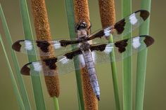 Flora, Goddess of Flowers and Spring: How to Attract Dragonflies to your Garden