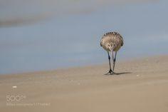 take a stroll(Bar-tailed Godwit) by himeuran via http://ift.tt/2dVV68g