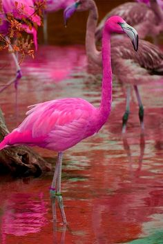 Flamingos are a coral-red-pink yes, but not this hot pink colour. Anyway, for people who aren't aware of this, can't you tell by the pink water? Share this and stop the Photoshopping! Pretty Birds, Love Birds, Beautiful Birds, Animals Beautiful, Pretty In Pink, Exotic Birds, Colorful Birds, Animals And Pets, Cute Animals