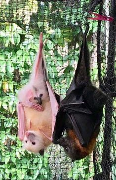 Two and a half bats: they must be the two who played for England in the third te… – albino animal Cute Creatures, Beautiful Creatures, Animals Beautiful, Cute Baby Animals, Animals And Pets, Funny Animals, Murcielago Animal, Baby Bats, Fruit Bat