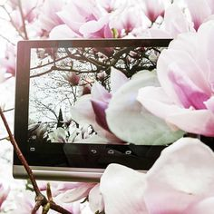 Dreaming of warmer weather. We love this beautiful shot by our friends from @lenovojp #YOGAmyway #lenovo #magnolia #pretty #flower #pink #flowers #yoga #tablet #tech