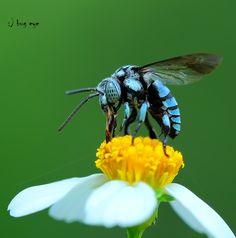 Impurest's Guide to Animals #31 - Neon Cuckoo Bee