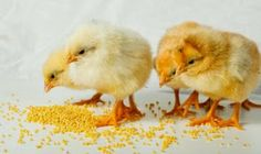 Recent Breakthroughs in Poultry Feeds Poultry Business, Poultry Supplies, Inflammatory Foods, Foods To Avoid, Saturated Fat, Fitness Diet, Healthy Lifestyle, Healthy Living, Health And Beauty