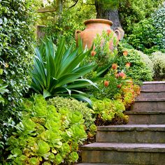 A bed of green Aeonium, strappy Beschorneria yuccoides, and coast rosemary (Westringia fruticosa) provides a verdant low-water entry garden. The coppery orange hues of the urn and pincushion flowers add vibrant color.