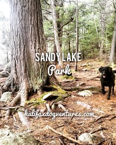 Sandy Lake Park in Bedford, Nova Scotia is very dog-friendly! It has a year-round off-leash area that is perfect for strolling, fetching and swimming. halifaxdogventures.com Lake Park, Canada Travel, Nova Scotia, Dog Friends, Best Dogs, Places To Go, Things To Do, Destinations, Swimming
