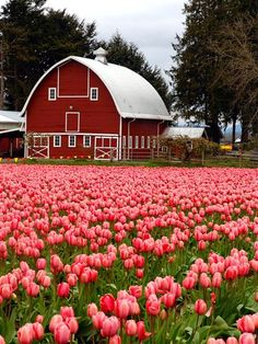 Barn in the tulips