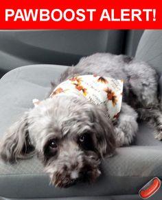Please spread the word! Poochie was last seen in Melrose Park, IL 60164.    Nearest Address: Near Medill Ave & Geneva Ave