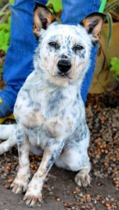 1000+ images about Texas Heeler on Pinterest | Texas ...