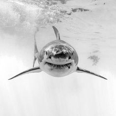 A head-on look at a female great white shark. She appears to have sustained an injury to the left side of her lower jaw. Photography by @iphotographsharks #greatwhiteshark #greatwhite #whiteshark #shark #sharks #underwater #blackandwhite