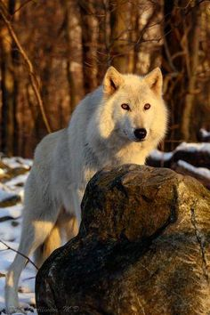 Photo: Peter Allinson via: Lakota Wolf Preserve