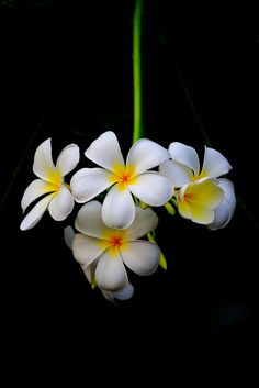 Plumeria obtuse....one of my absolute favorite flowers from Guam.  They are so fragrant and beautiful.