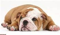 sleepy bulldog puppy - Bing Images