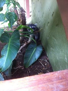 A baby racoon under the stairs in Costa Rica