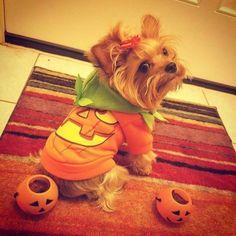 #Repost @yoko_precious_yorkie  Getting  ready for Halloween ...