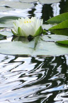 Water Lily Water Flowers, Water Plants, Water Lilies, Lotus Flowers, Beautiful Flowers Garden, Amazing Flowers, Beautiful Gardens, Lotus Plant, Pond Water Features