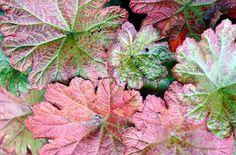 RHS Plant Selector Darmera peltata - Umbrella Plant