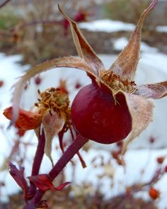 Rose Hips! One of th