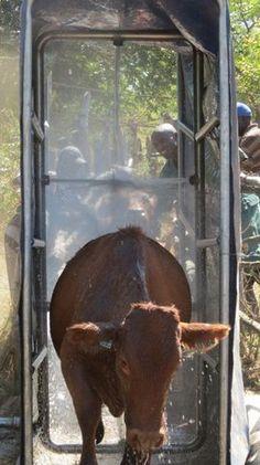 Home - Spray Race Africa - Orange_Orange Orange Orange, Livestock, Cattle, Africa, Racing, Horses, Animals, Home, Gado Gado