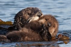 Sea Otter Mother with Pup Beside Morro Bay CA 14 Dec 2009 by Mike Baird, via 500px