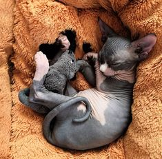 30 Images In Appreciation Of Sphynx Kitties – People love kittens because they are little and fluffy – but what's hiding underneath all that fur? Kittens Cutest, Cats And Kittens, Cute Cats, Cute Baby Animals, Animals And Pets, Wild Animals, Cute Hairless Cat, Sphinx Cat, Fluffy Cat